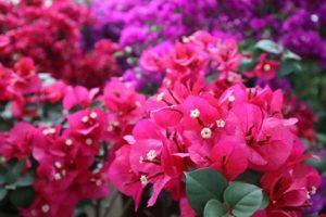 Azalie - Kwiatowa wyspa Mainau